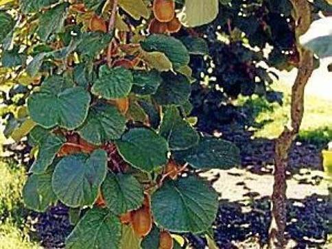 L 39 home foto foto una pianta di kiwi for Kiwi pianta