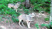 La presenza dei lupi in Lessinia è considerata una risorsa dai «cugini» trentini di Ala