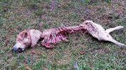 Quel che resta di Tommy, il labrador è stato sbranato dai lupi e ritrovato dai cacciatori domenica